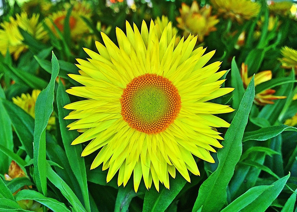 Flower, Yellow, Strawflower, Spring, Blossom
