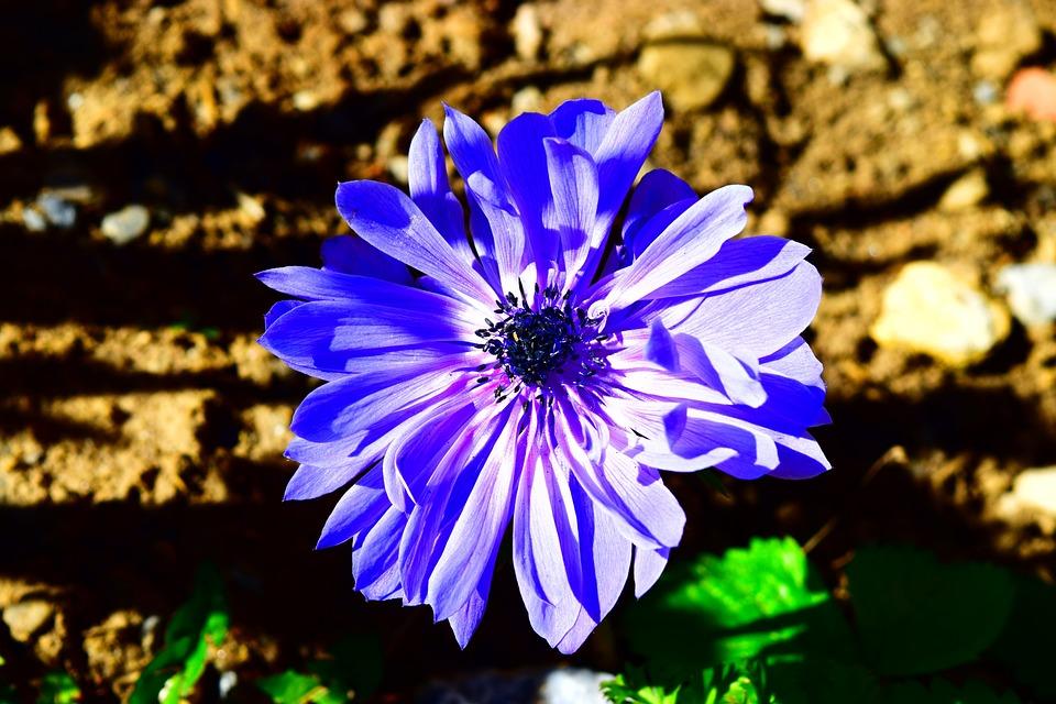 Anemone, Blue, Flower, Spring