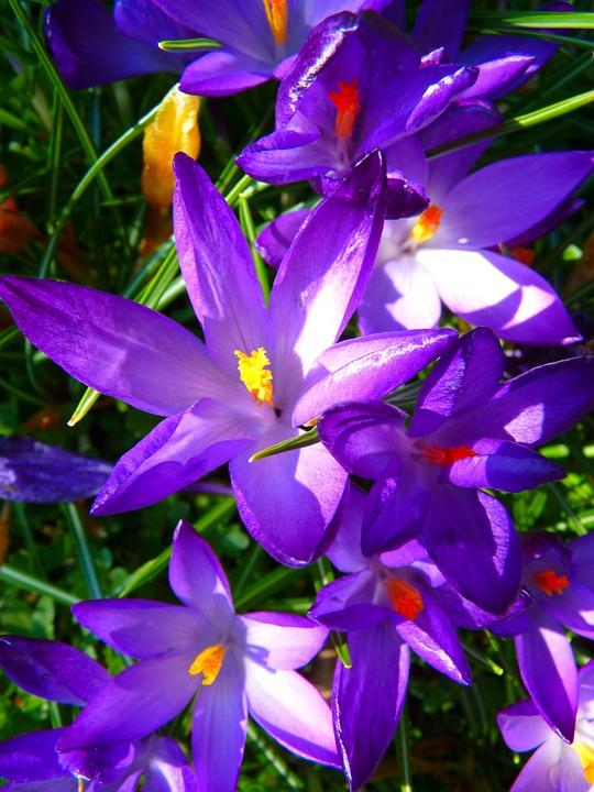 Crocus, Flower, Spring, Bühen, Purple