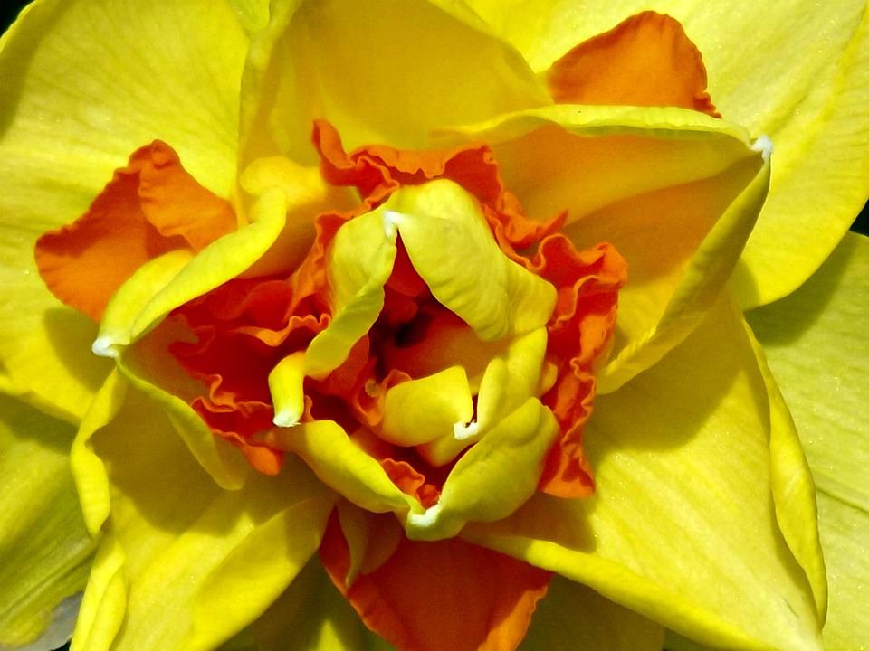 Daffodil, Yellow, Orange, Spring, Flower, Narcissus