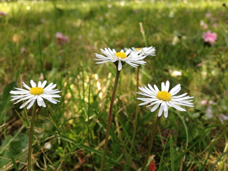 Daisies, Flower, Spring, Garden, Nature, Daisy, Grass