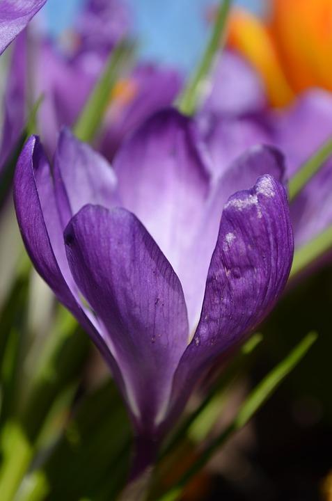 Crocus, Flower, Spring Flower, Frühlingsanfang, Plant