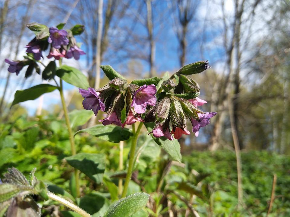 Lungwort, Flower, Spring Flower, Macro