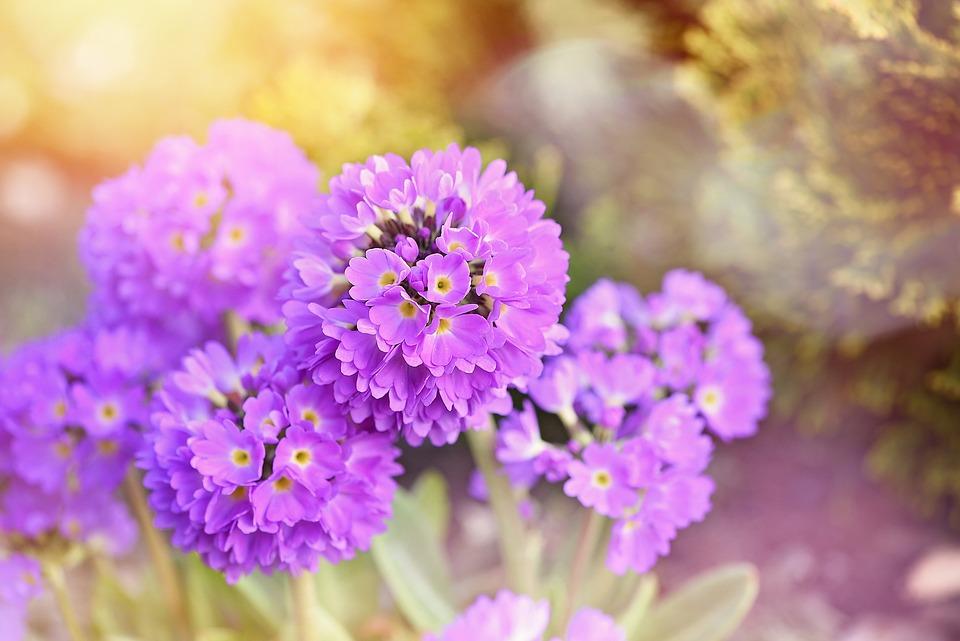 Primrose, Drumstick, Flower, Spring Flower