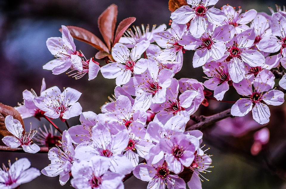 Spring, Flower, Sunshine, Spring Flowers, Cherry