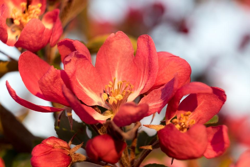 Flower, Apple, Heavenly, Spring, Pink, Flowers