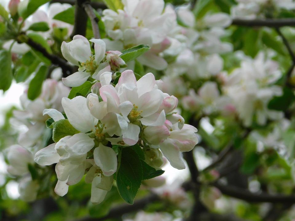 Spring, Bloom, Apple Tree, Flowers, Flower, Nature