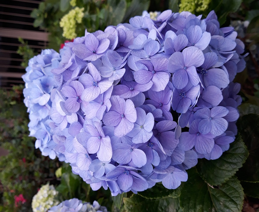 Free Photo Flower Spring Flowers Nature Hydrangea Blue Max Pixel