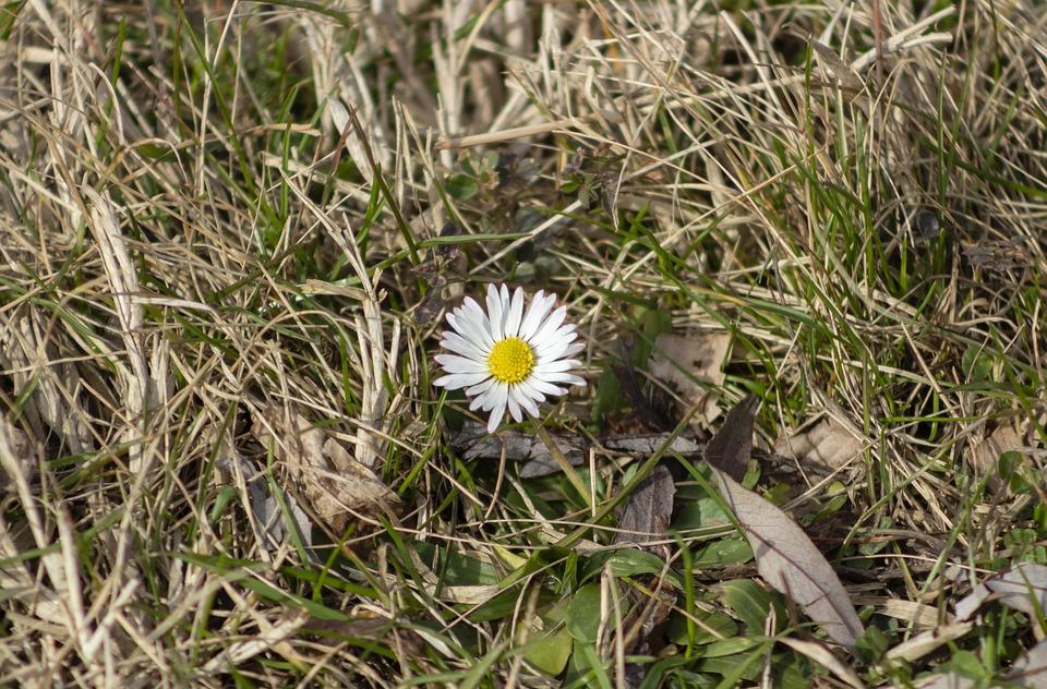 Meadow Flower, Flower, Flowers, Spring, Flora, Plant