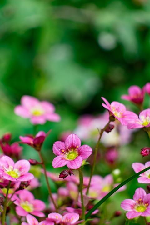 Flower, Badan, Skalnik, Spring, Pink, Garden, Flowers