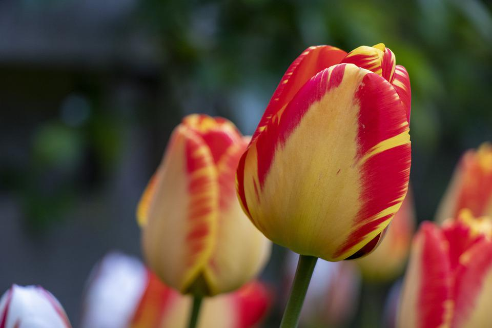 Red, Yellow, Flower, Tulip, Green, Bolplant, Spring