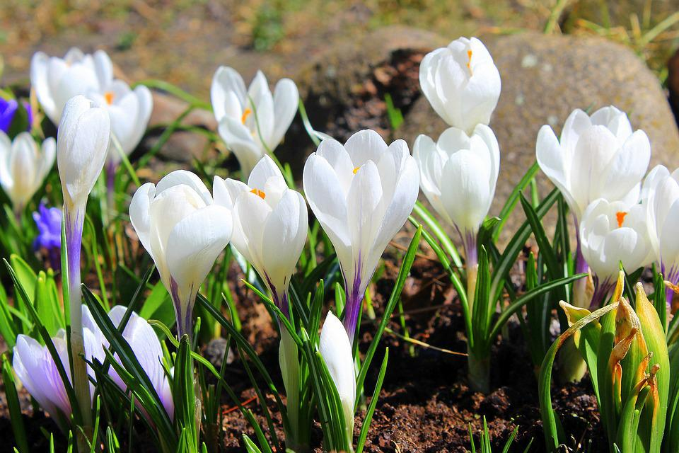 Free photo flower spring nature white crocus spring flowers max pixel crocus white spring flowers spring flower nature mightylinksfo