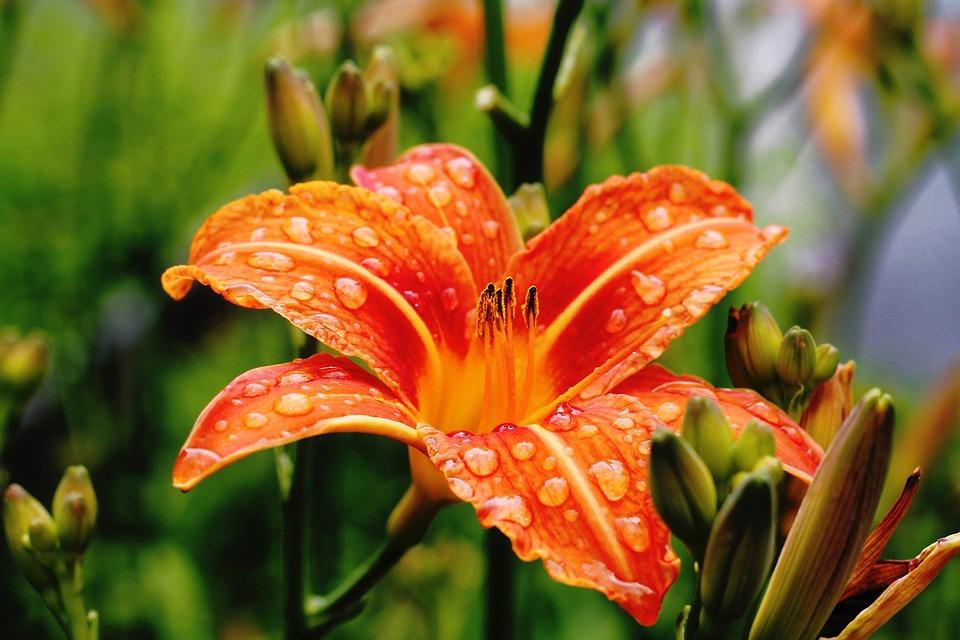 Flower, Garden, Petals, Orange, Nature, Green, Spring
