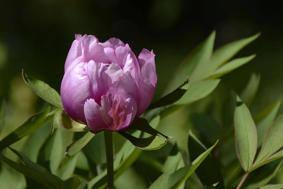 Peony, Blossom, Bloom, Purple, Spring, Flower, Nature