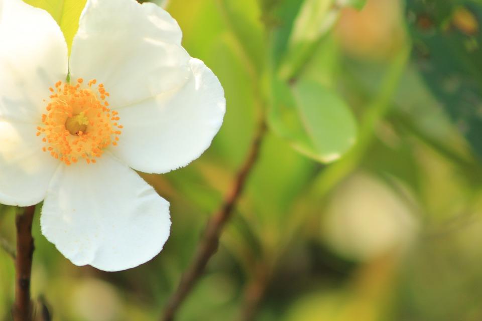 Flower, White, Nature, Plant, Floral, Spring, Blossom