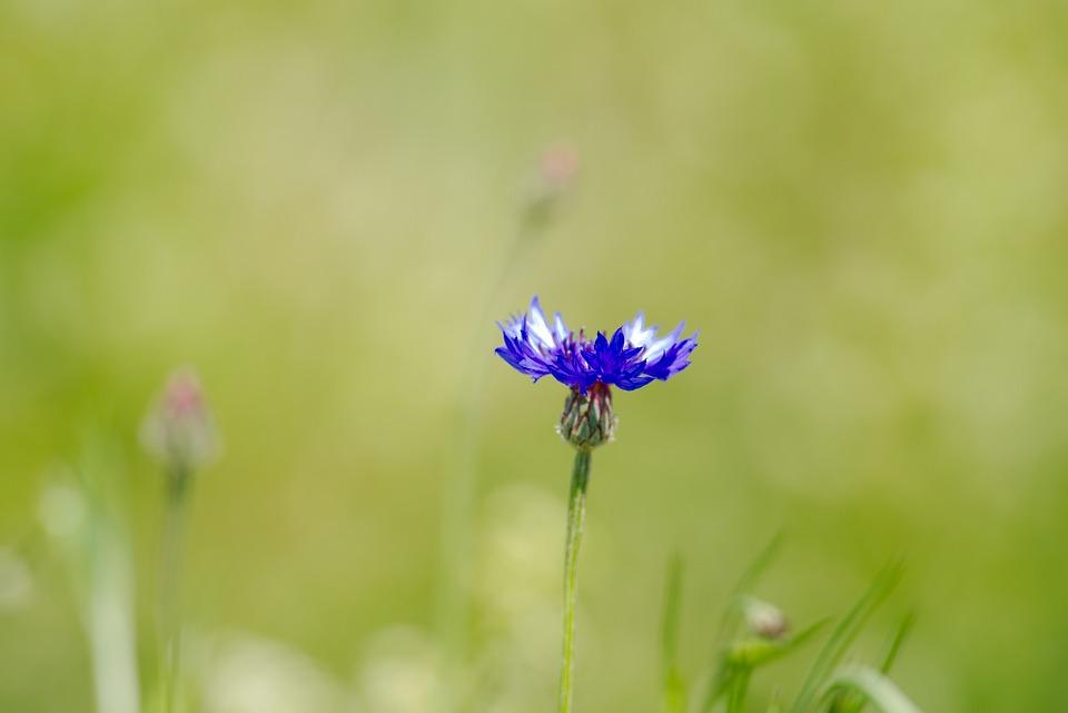 Cornflower, Flower, Spring, Tholey, Saarland