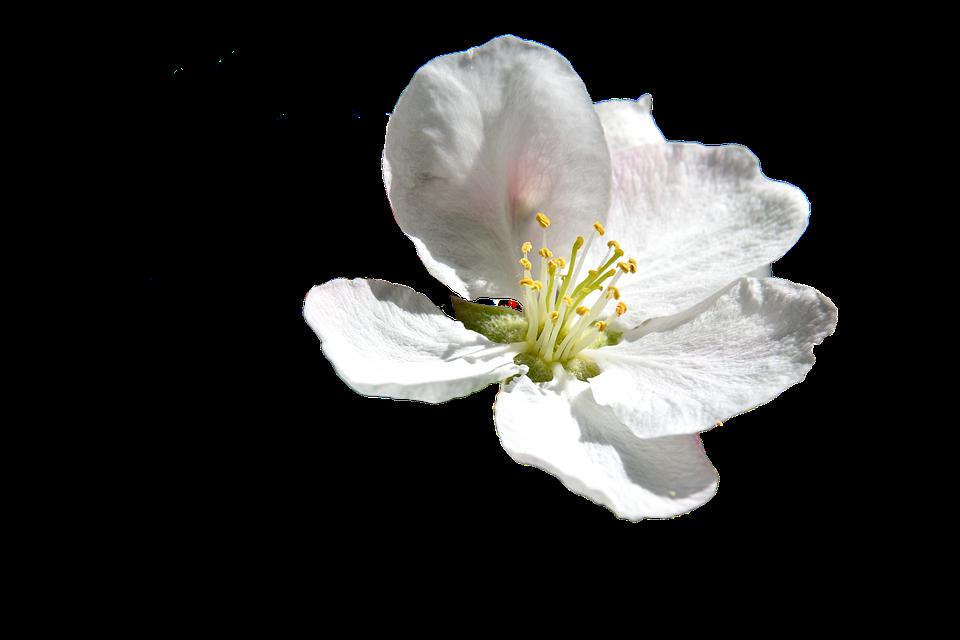 Flower, White, Spring, White Flower, Nature