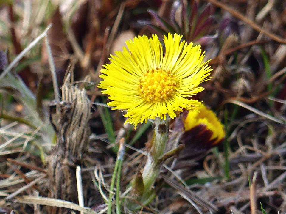 Tussilago, Flower, Yellow, Grass, Spring