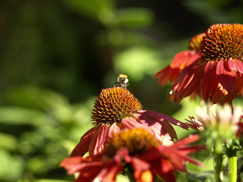 Coneflower, Bee, Flower, Red, Sprinkle, Nature, Insect