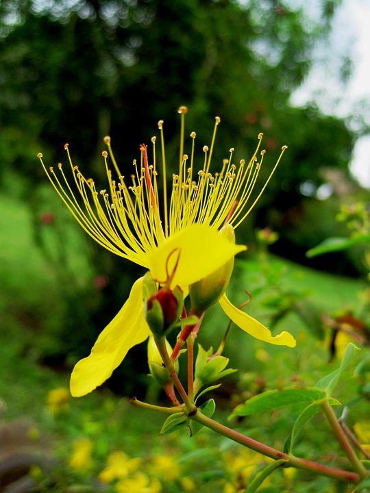 Wildflower, Flower, St John's Wort, Hypericum, Floral