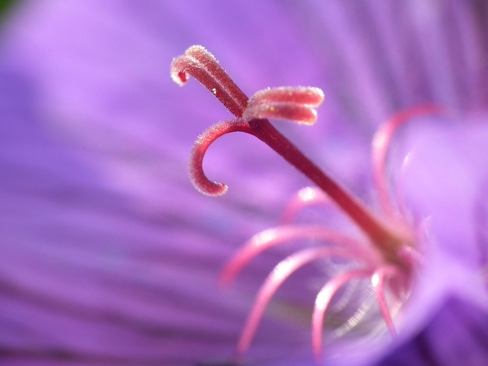 Stamens, Flower, Purple, Macro