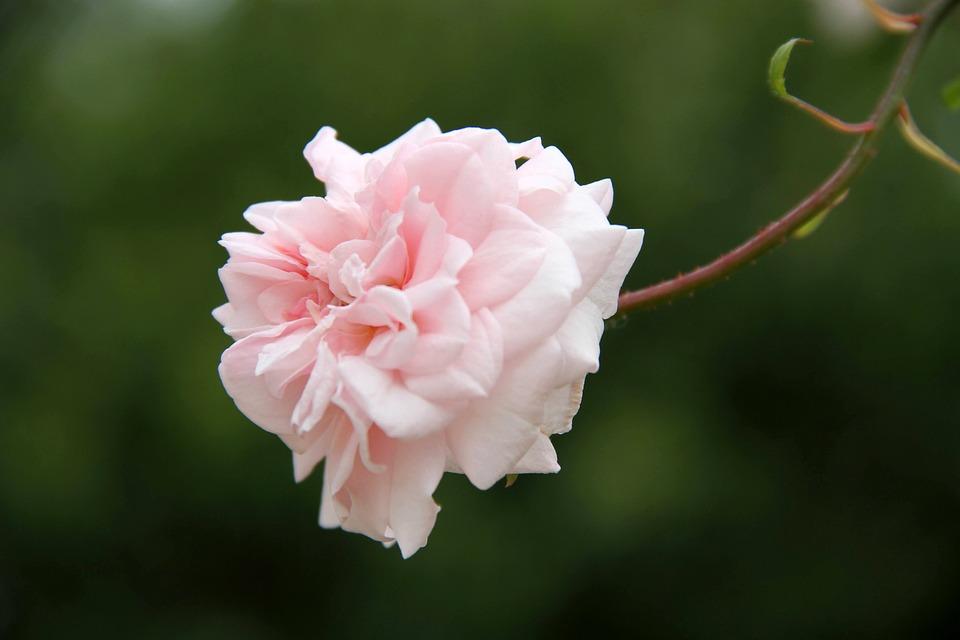 Rosa, Flower, Stem, Leaves, Petals