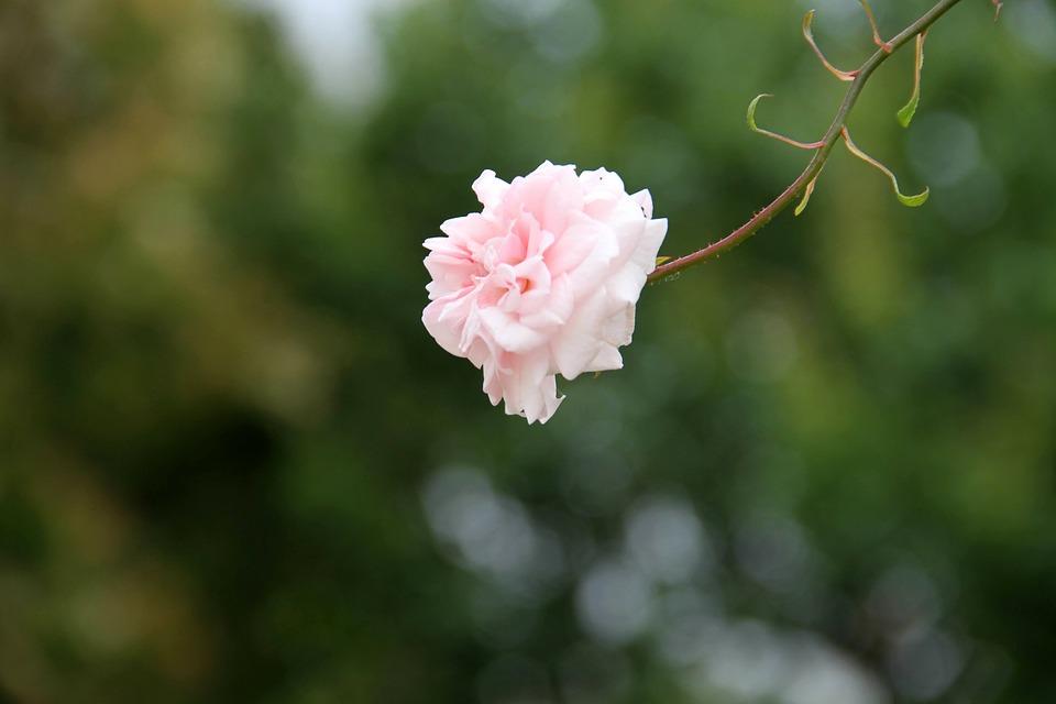 Rosa, Flower, Stem, Petals