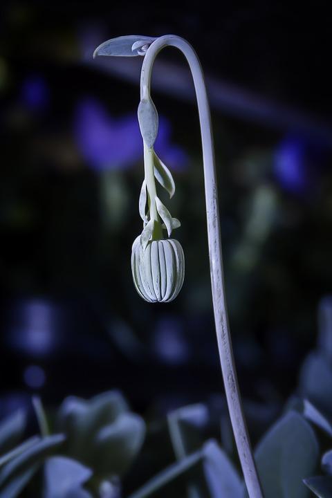 Senecio Cephaluphorus, Flower Stem, Senecio