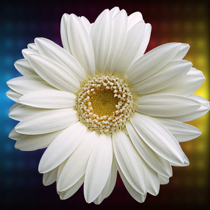 Flower, Plant, Nature, Summer, Nice, Daisy, Flowers