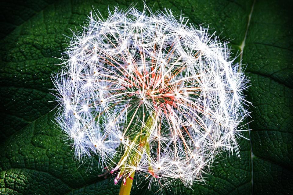 Weed, Dandelion, Nature, Summer, Flower, Seed, Stem