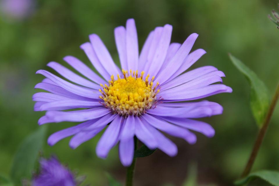 Blossom, Bloom, Flower, Summer Flowers, Purple, Plant