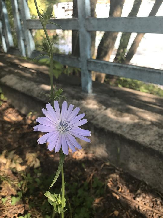 Chicory, Flower, Summer, Wild Flower, Meadow Flowers