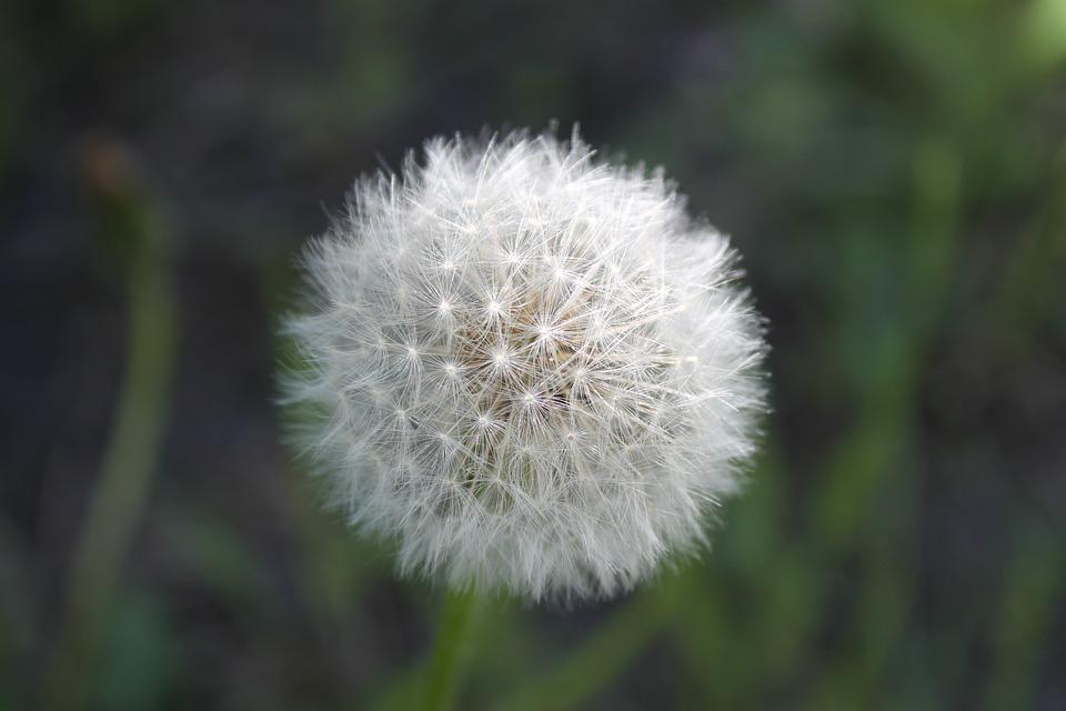 Dandelion, Plant, Flower, Nature, Shoots, Summer, Green