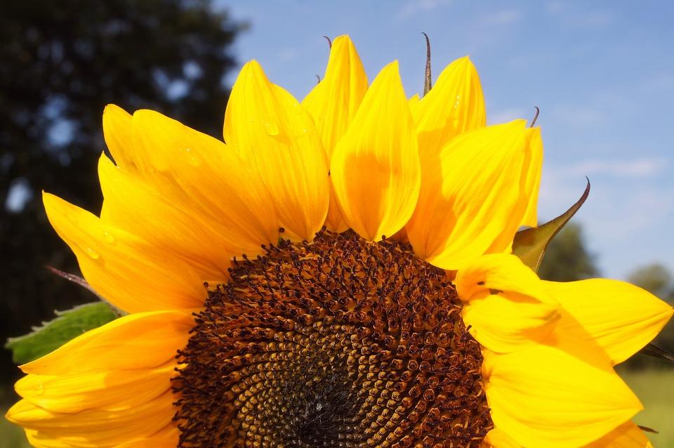 Sunflower, Yellow, Sky, Flower, Nature, Summer, Plant