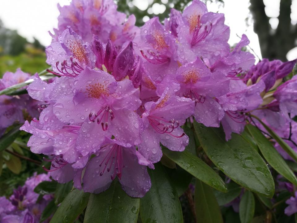 Rhododendron, Flower, Petal, Garden, Nature, Summer