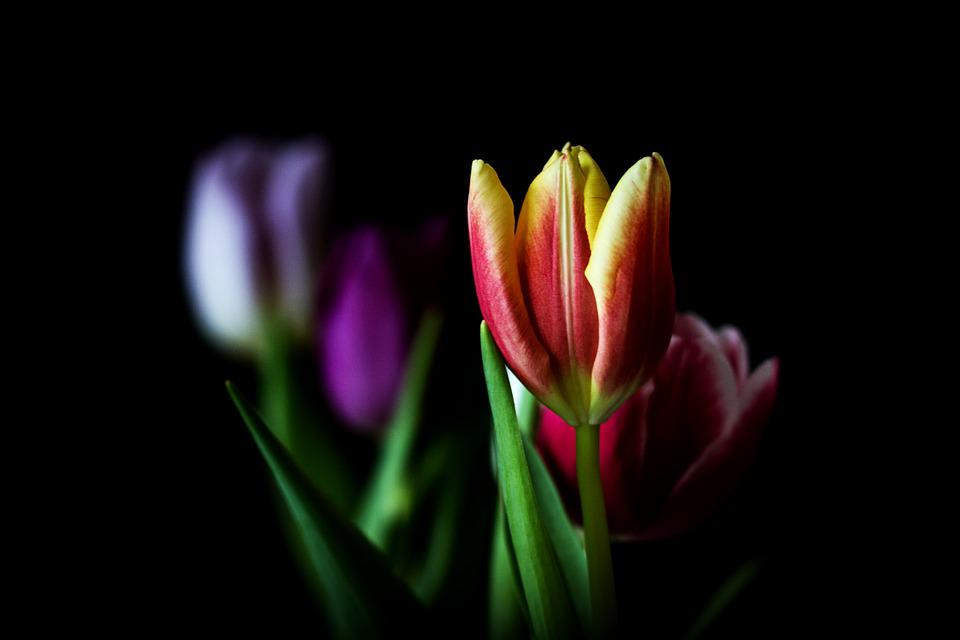 Nature, Tulip, Flower, Plant, Bright, Leaf, Summer