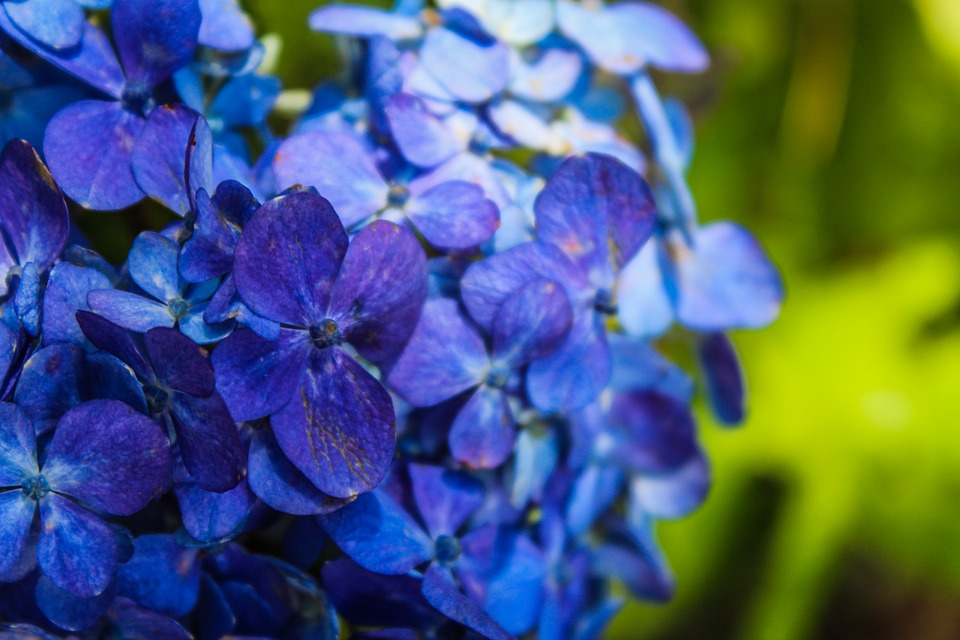 Nature, Plant, Flower, Garden, Summer, Leaf, Hortensia