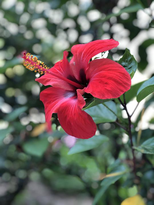 Hibiscus, Flower, Red, Garden, Summer