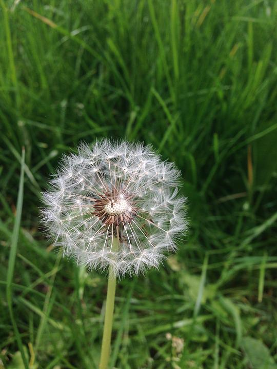 Dandelion, Flower, Nature, Close, Summer, Plant, Spring