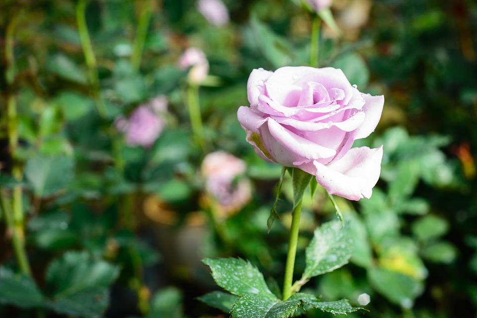 Flower, Gardens, Pink Flower, Nature, Summer, Spring