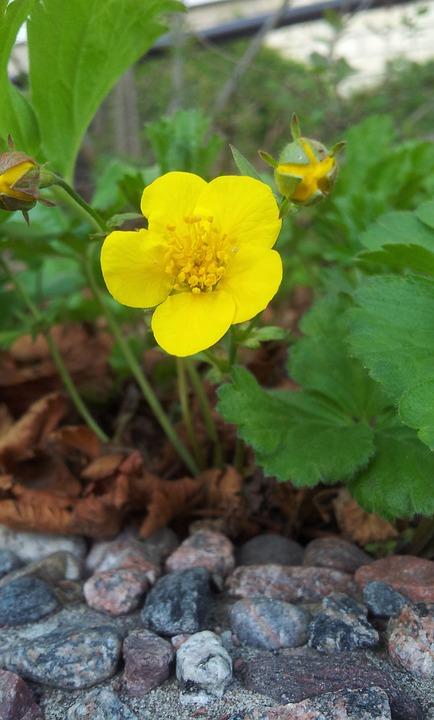 Yellow, Flower, Yellow Flower, Flowers, Summer, Plant