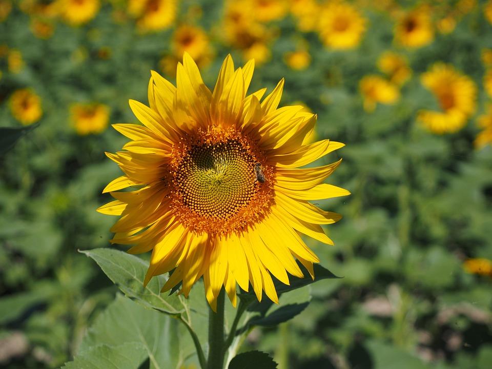 Sun Flower, Inflorescence, Flower Basket, Flower
