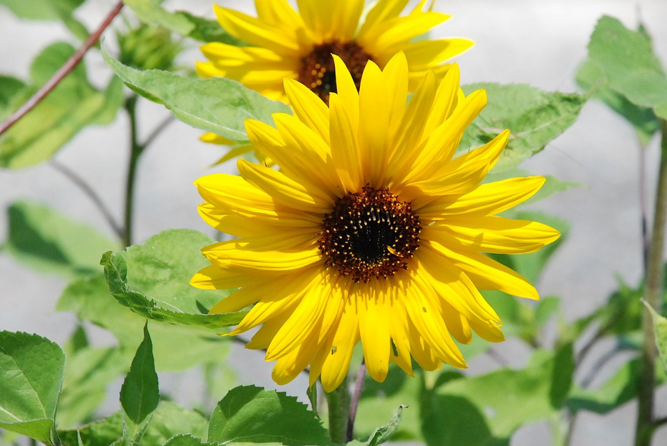 Sun Flower, Flower, Yellow, Wild Flower, Flowers