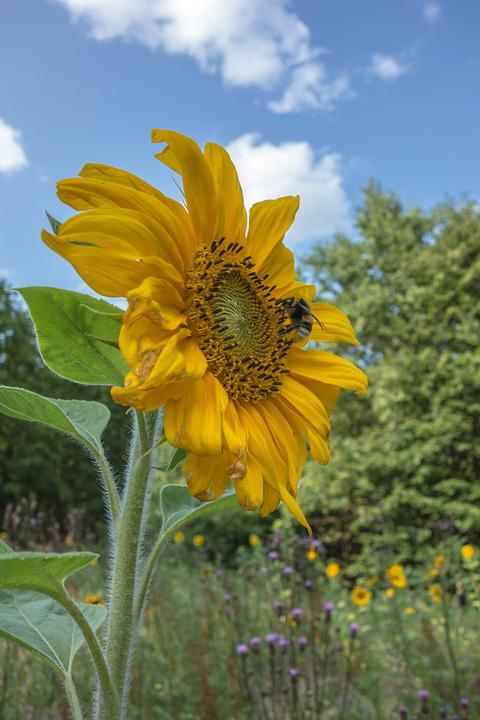 Sun Flower, Blossom, Bloom, Yellow, Summer, Flower
