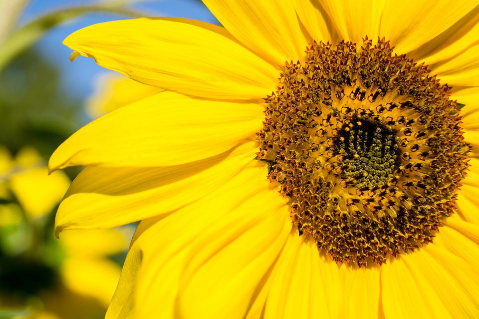 Day, Sunflower, Macro, Close Up, Nature, Flower, Sky