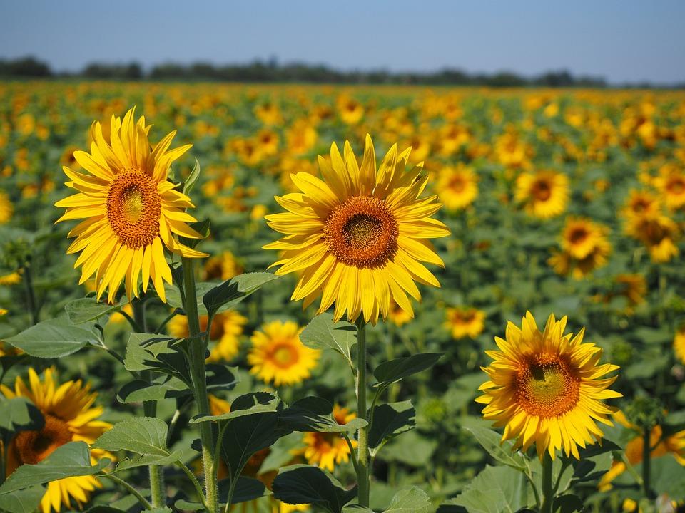 Sunflower, Sunflower Field, Helianthus Annuus, Flower