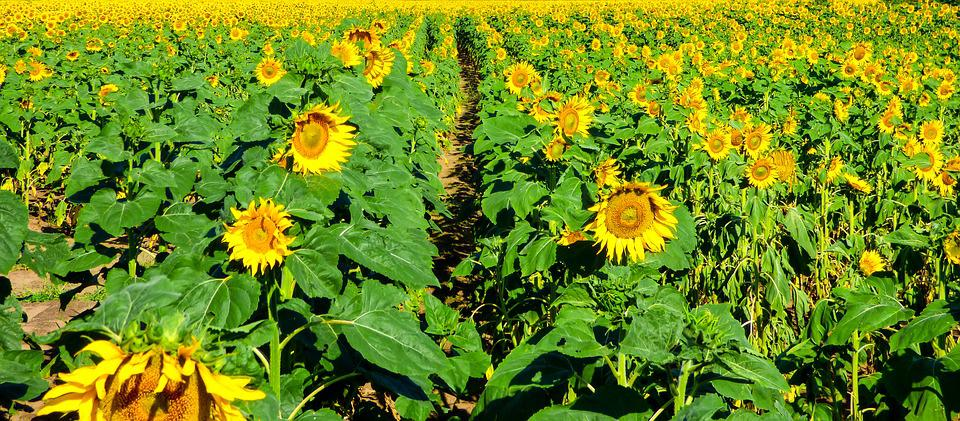 Sunflower, Field, Flower, Nature, Sunflower Field