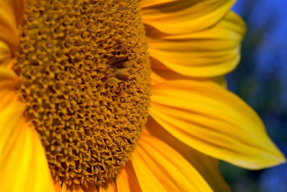 Sunflower, Yellow, Garden, Flower, Flowering