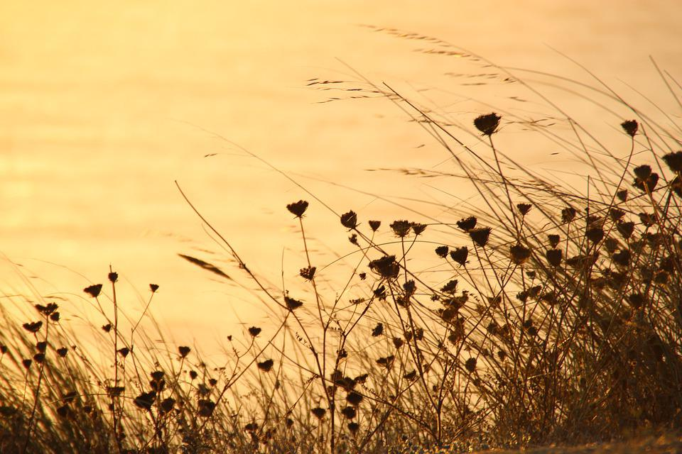 Flower, Grasses, Summer, Sea, Sunset, Wind