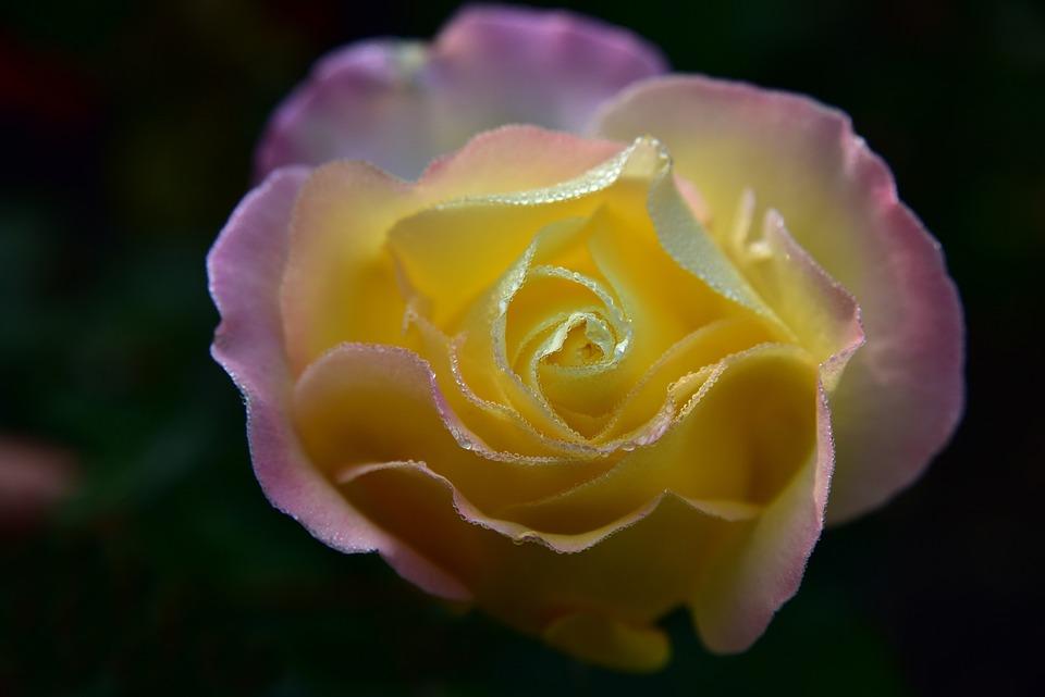 Rose, Blossom, Bloom, Flower, Tender, Leaves, Petals